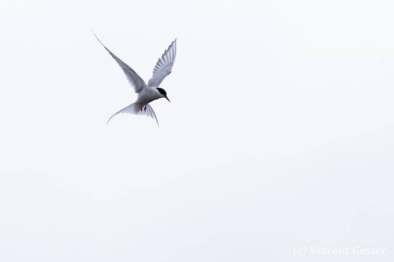 Arctic tern (Sterna paradisaea) in flight, Spitzbergen, Svalbard