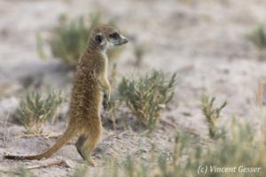 Meerkat (Suricata suricatta) observe the plains, Makgadikgadi Pans National Park, Botswana