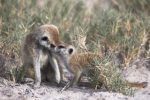 Two Meerkats (Suricata suricatta) play, Makgadikgadi Pans National Park, Botswana