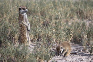 Two Meerkats (Suricata suricatta) play and observe, Makgadikgadi Pans National Park, Botswana