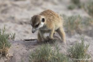 One Meerkat (Suricata suricatta) digs the sand, Makgadikgadi Pans National Park, Botswana