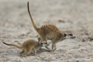 Two Meerkats (Suricata suricatta) play and  run, Makgadikgadi Pans National Park, Botswana