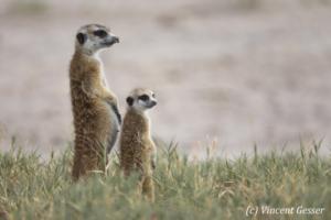 Two Meerkats (Suricata suricatta) observe the plain, Makgadikgadi Pans National Park, Botswana