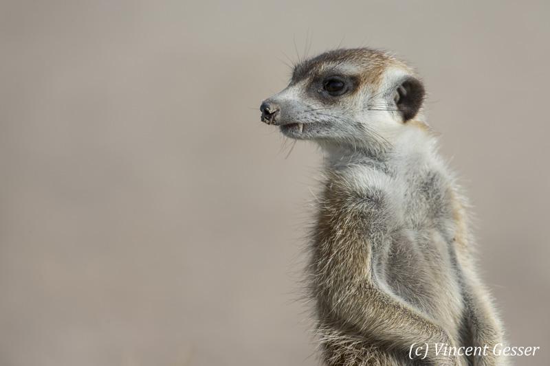 One Meerkat (Suricata suricatta) portrait, Makgadikgadi Pans National Park, Botswana