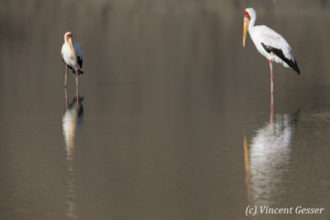 Two yellow-billed stork (Mycteria ibis) reflexions on Lake Magadi, Shompole Sanctuary, Kenya
