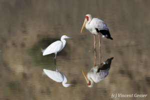 Yellow-billed stork (Mycteria ibis) and little egret (Egretta garzetta) reflexions on Lake Magadi, Shompole Sanctuary, Kenya, 2