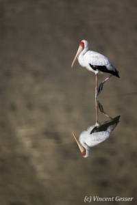 Yellow-billed stork (Mycteria ibis) reflexion on Lake Magadi, Shompole Sanctuary, Kenya, 2