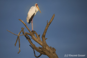 Yellow-billed stork (Mycteria ibis) observing from a branch, Lake Baringo, Kenya