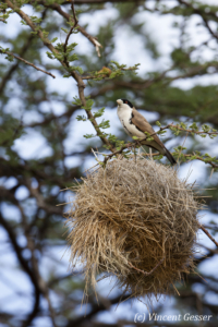 Black-capped social weaver (Pseudonigrita cabanisi) on a nest, Samburu National Reserve, Kenya