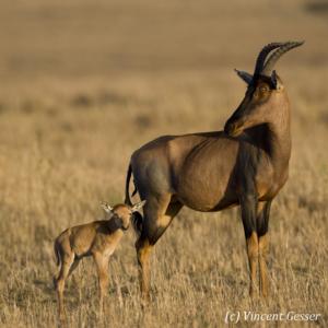 Topis (Damaliscus korrigum) mother looking at her young calf, Masai Mara National Reserve, Kenya
