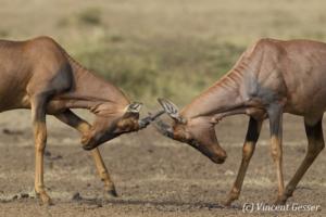 Topis (Damaliscus korrigum) fighting, Masai Mara National Reserve, Kenya, 2