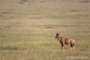 Topis (Damaliscus korrigum) observing, Masai Mara National Reserve, Kenya