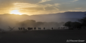 Maasai cows returning to their boma at dusk, Shompole Sanctuary, Kenya, 3