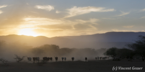 Maasai cows returning to their boma at dusk, Shompole Sanctuary, Kenya, 4