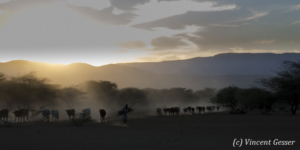 Maasai cows returning to their boma at dusk, Shompole Sanctuary, Kenya, 5
