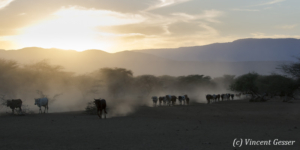 Maasai cows returning to their boma at dusk, Shompole Sanctuary, Kenya, 6