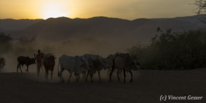 Maasai cows returning to their boma at dusk, Shompole Sanctuary, Kenya, 8