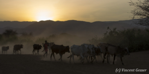 Maasai cows returning to their boma at dusk, Shompole Sanctuary, Kenya, 9