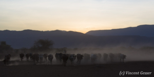 Maasai cows returning to their boma at dusk, Shompole Sanctuary, Kenya, 10