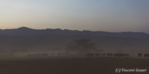 Maasai cows returning to their boma at dusk, Shompole Sanctuary, Kenya, 11