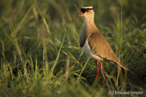 Crowned Lapwing (Vanellus coronatus) walking, Amboseli National Park, Kenya