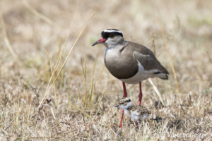 Crowned Lapwing (Vanellus coronatus) adult and chick walking in the grass, Masai Mara National Reserve, Kenya