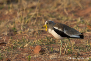 African Wattled Lapwing (Vanellus senegallus) walking on the ground, Lake Kariba, Zimbabwe