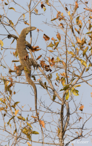 Monitor lizard (Varanus niloticus) waking up from the night in a tree, Lake Kariba, Zimbabwe, 2