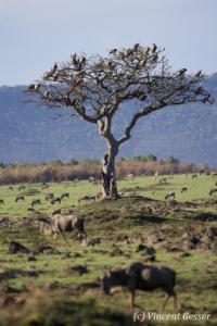 Vultures (Aegypiinae) waiting on a tree, , Masai Mara National Reserve, Kenya