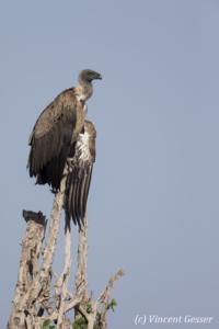 Vulture (Aegypiinae) waiting on a tree, Masai Mara National Reserve, Kenya