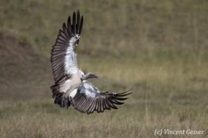 Vulture (Aegypiinae) landing, Masai Mara National Reserve, Kenya