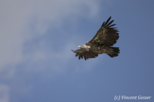 Vulture (Aegypiinae) flying in the sky, Masai Mara National Reserve, Kenya