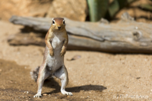 African Ground Squirrel (Xerus rutilus) looking straight, Namunyak Wildlife Conservancy, Kenya