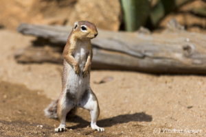 African Ground Squirrel (Xerus rutilus) looking right, Namunyak Wildlife Conservancy, Kenya