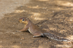 African Ground Squirrel (Xerus rutilus) laying on cool wet ground, Namunyak Wildlife Conservancy, Kenya