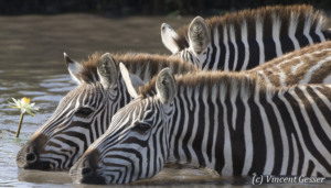 Group of Burchell's Zebras (Equus quagga burchellii) drinking water near water lily, Masai Mara National Reserve, Kenya, 1