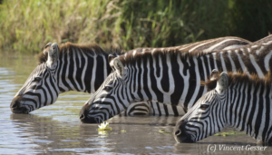 Group of Burchell's Zebras (Equus quagga burchellii) drinking water near water lily, Masai Mara National Reserve, Kenya, 2