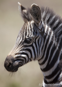 Portrait of young Burchell's Zebra (Equus quagga burchellii), Masai Mara National Reserve, Kenya,1