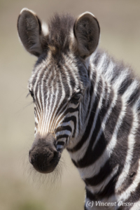 Portrait of young Burchell's Zebra (Equus quagga burchellii), Masai Mara National Reserve, Kenya,2