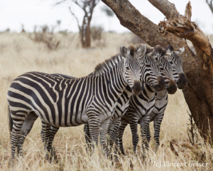 Four Burchell's Zebras (Equus quagga burchellii) observing from under a tree, Tarangire National Park, Tanzania