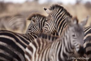 Burchell's Zebras (Equus quagga burchellii) grouped, Tarangire National Park, Tanzania