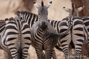 Head and backs of Burchell's Zebras (Equus quagga burchellii), Tarangire National Park, Tanzania