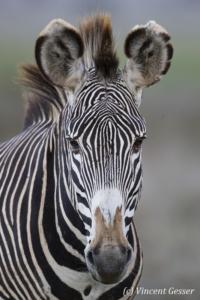 Grevy's Zebra (Equus grevyi) portrait, Lewa Conservancy, Kenya