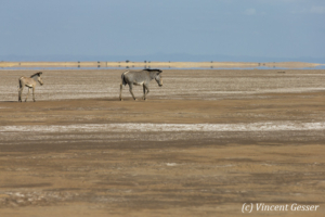 Two Grevy's Zebras (Equus grevyi) walking away and lonely in the Chalbi Desert, Kenya, 1