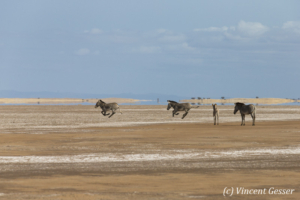 Group of Grevy's Zebras (Equus grevyi) running in the Chalbi Desert, Kenya