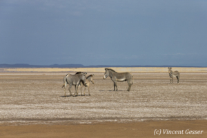 Group of Grevy's Zebras (Equus grevyi) walking in the Chalbi Desert, Kenya