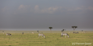 Group of Burchell's Zebras (Equus quagga burchellii) walking grazing in the Masai Mara National Reserve, Kenya