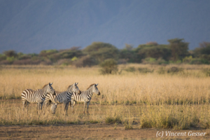 Group of Burchell's Zebras (Equus quagga burchellii) scanning the horizon, Shompole Sanctuary, Kenya, 1