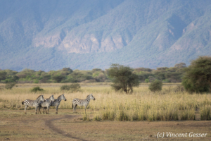 Group of Burchell's Zebras (Equus quagga burchellii) scanning the horizon, Shompole Sanctuary, Kenya, 2