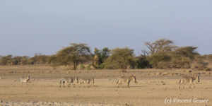 Group of Burchell's Zebras (Equus quagga burchellii) walking, Shompole Sanctuary, Kenya